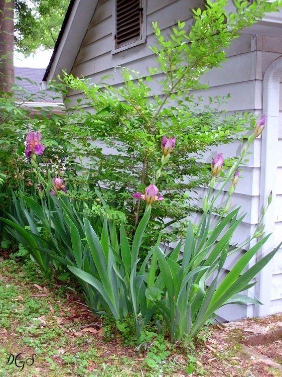 spring tulips ©DSG 2013