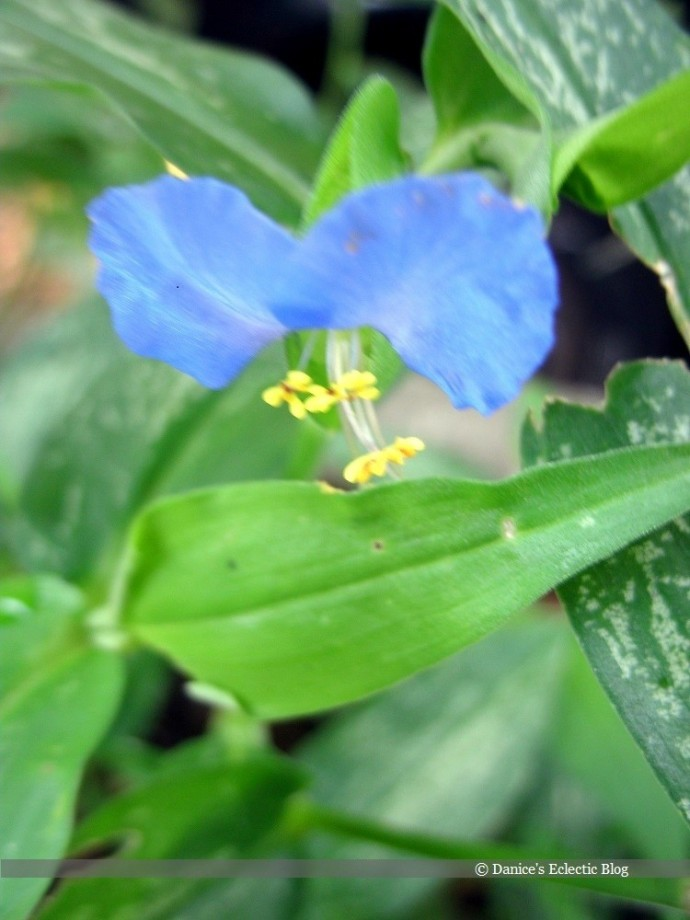 ©DSG blue morning glory flower